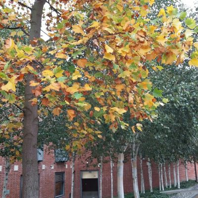Autumnal trees in Norwich