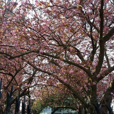 Blossom St Peter Mancroft