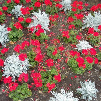 Norwich in Bloom red flowers